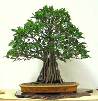photo of bonsai - click to enlarge
