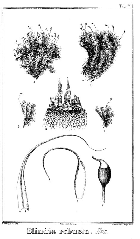 Blindia robusta, from von Mueller's Analytical Drawings