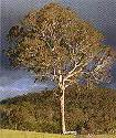 A Gum Tree Guide