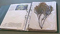 photo: herbarium sheet