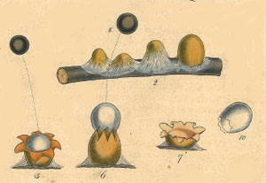 part of Greville's illustration, click for full plate