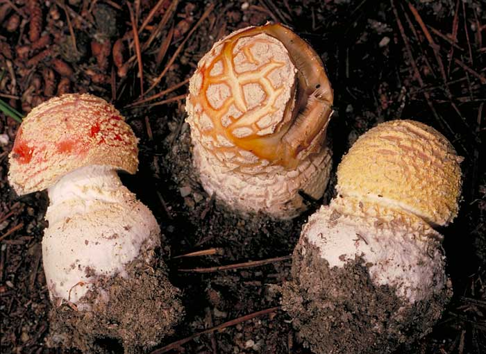 photo: Amanita muscaria - young fungi