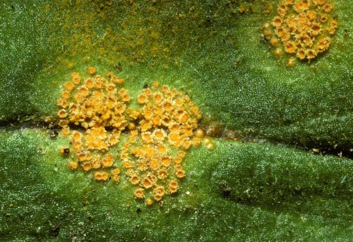 photo: Puccinia sp.