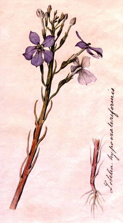 illustration Isotoma hypocrateriformis