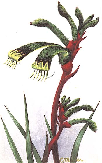 Anigozanthos manglesii painting by Constance Miller