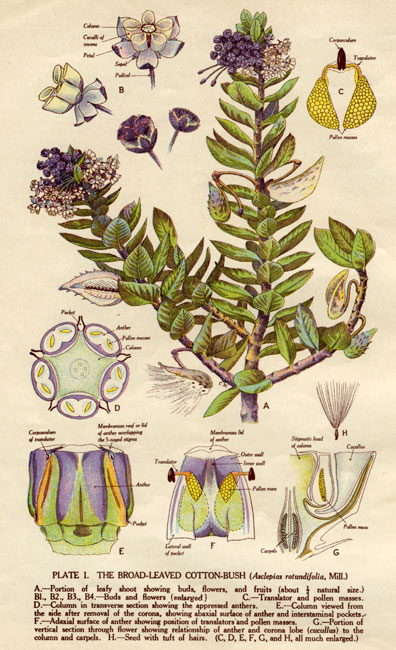 illustration: Gomphocarpus cancellatus
