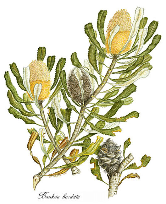 illustration: Banksia burdettii