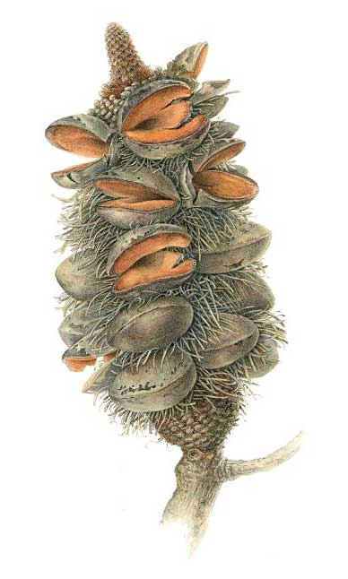 illustration: Banksia serrata - cone
