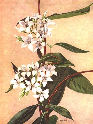 illustration: Billardiera floribunda