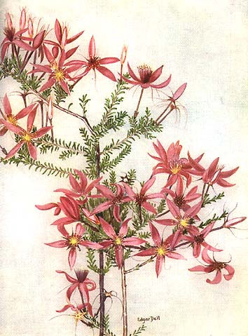 illustration: Calytrix fraser
