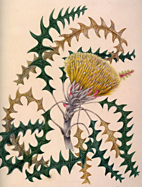 illustration: Banksia  dallanneyi