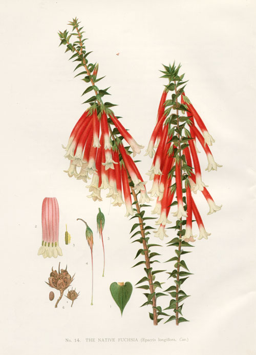 illustration: Epacris longiflora