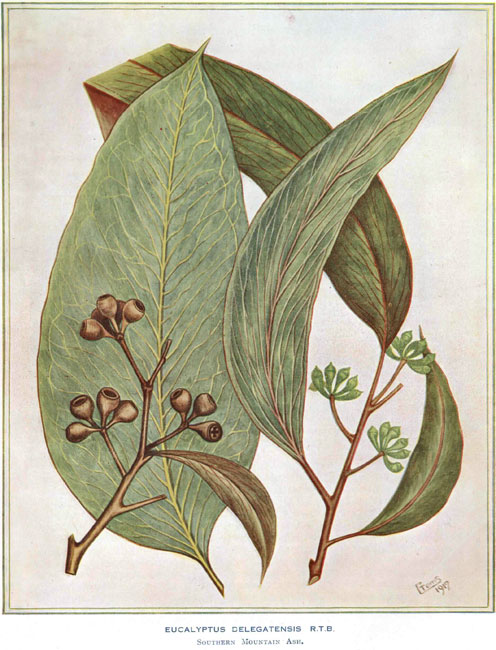 illustration: Eucalyptus delegatensis