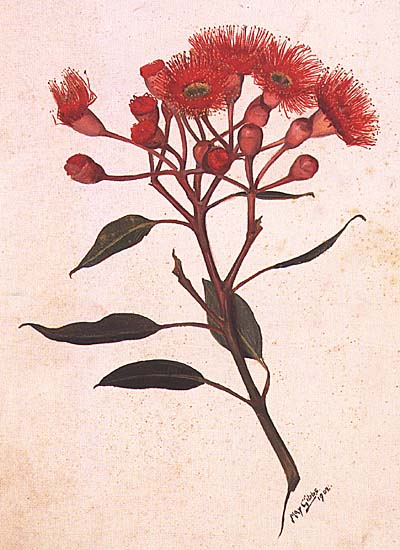 Corymbia ficifolia painting by May Gibbs