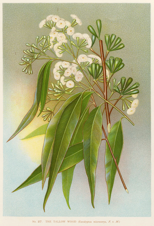 illustration: Eucalyptus microcorys