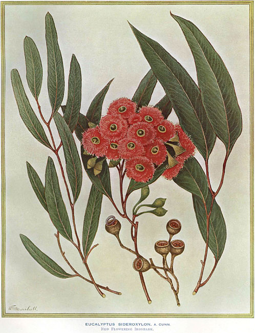 illustration: Eucalyptus sideroxylon