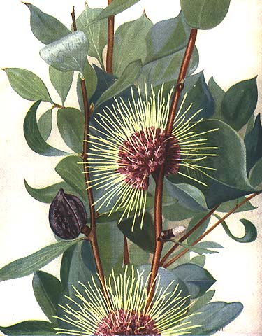 illustration: Hakea petiolaris