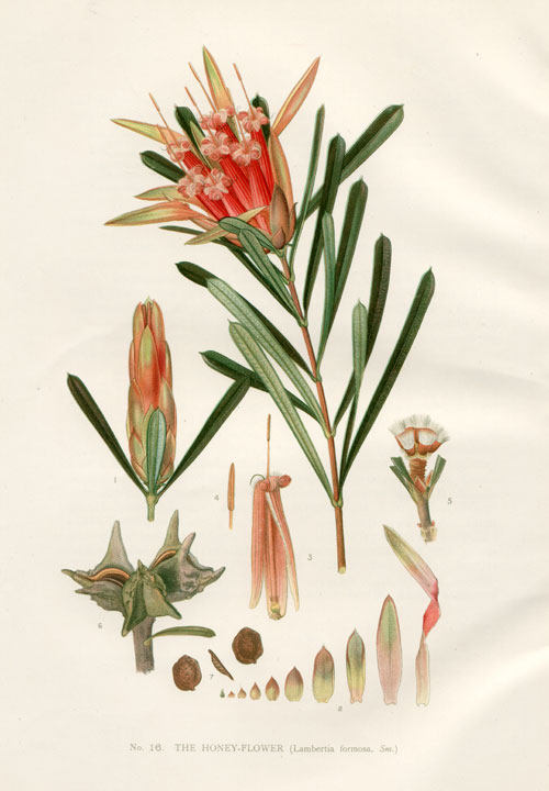 illustration: Lambertia formosa