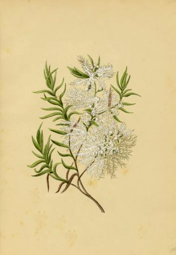 illustration: Melaleuca linariifolia