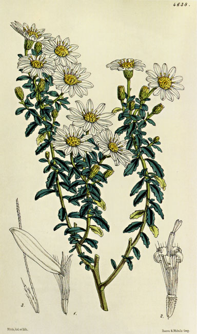 illustration: Olearia phlogopappa