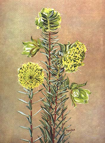 illustration: Pimelia suaveolens