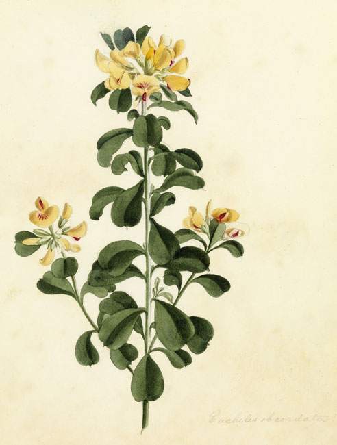 illustration: Pultenaea daphnoides