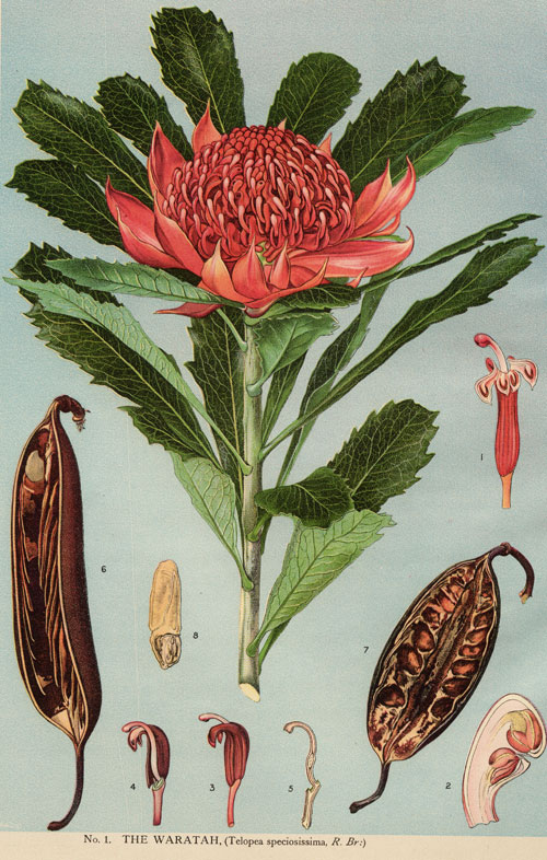 illustration: Telopea speciosissima