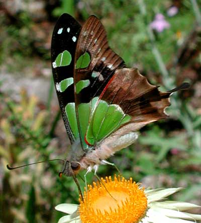 Macleay Swallowtail Butterfly, Photo: � Tony Woods