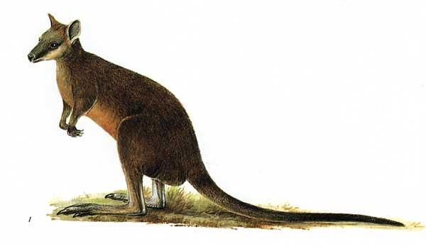Swamp wallaby  Wikipedia Republished  WIKI 2