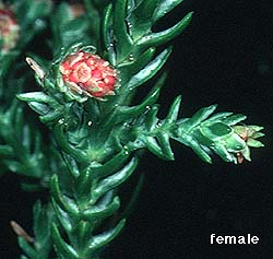 photo female cone