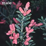 photo male cones
