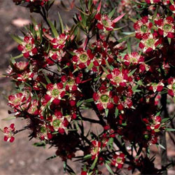 Leptospermum spectaile (A5896) click to enlarge