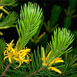 Persoonia chamaepitys (A19232) - click to enlarge