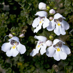 Prostanthera cuneata (A 11210) click to enlarge