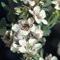 Leptospermum thompsonii