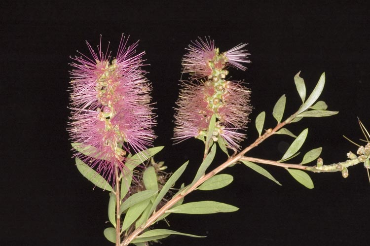 APII jpeg image of Callistemon 'Briar Hill'  © contact APII