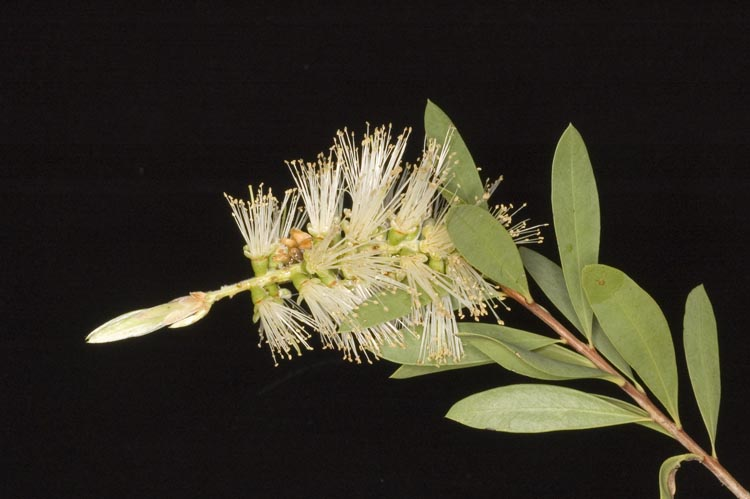 APII jpeg image of Callistemon citrinus 'Demesne White'  © contact APII