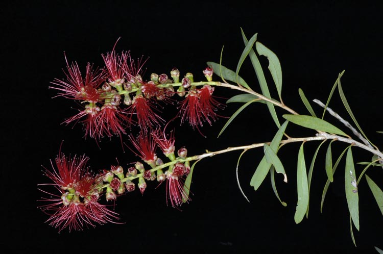 APII jpeg image of Callistemon viminalis 'Ayr'  © contact APII