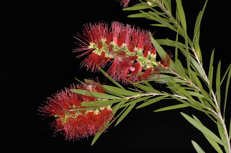 APII jpeg image of Callistemon viminalis 'Prolific'  © contact APII