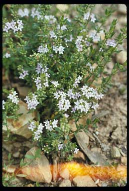 APII jpeg image of Mentha diemenica  © contact APII