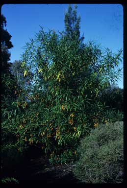 APII jpeg image of Solanum aviculare  © contact APII