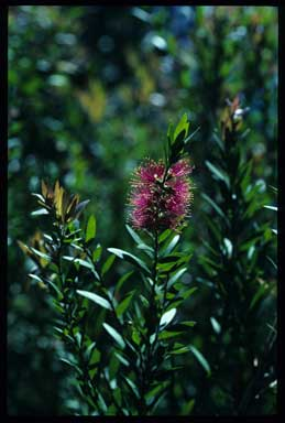 APII jpeg image of Callistemon 'Cameo Pink'  © contact APII