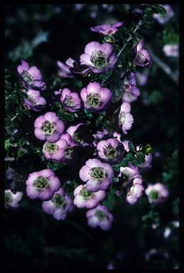 APII jpeg image of Leptospermum rotundifolium 'Lavender Queen'  © contact APII