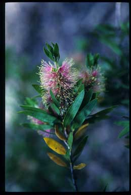 APII jpeg image of Callistemon 'Glasshouse Gem'  © contact APII