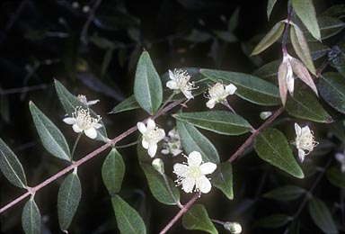 APII jpeg image of Austromyrtus dulcis  © contact APII