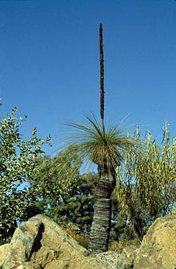APII jpeg image of Xanthorrhoea johnsonii  © contact APII