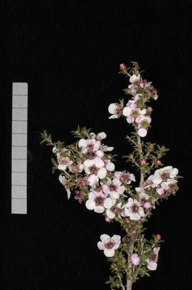APII jpeg image of Leptospermum 'Stephen Rose'  © contact APII