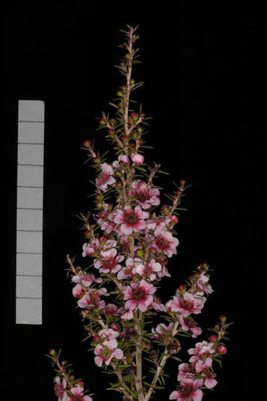 APII jpeg image of Leptospermum 'Naoko'  © contact APII