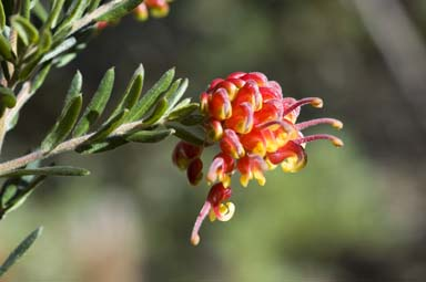 APII jpeg image of Grevillea 'Fireworks'  © contact APII