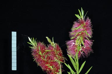 APII jpeg image of Callistemon 'Shannon'  © contact APII